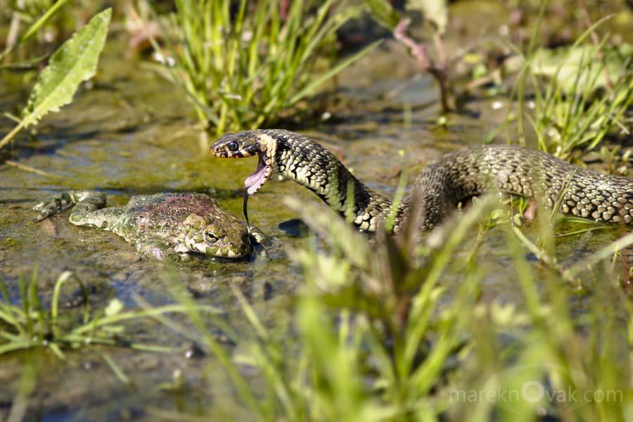 Hadí Eldorádo mezi rybníky